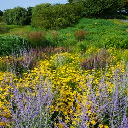Weeping Willow, Russian Sage, Golden Showers Threadleaf Coreopsis, Burgundy Candles Meadow Sage, Leichtlin's Lily
