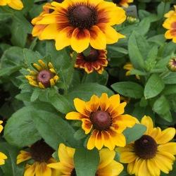 Toto Rustic Rudbeckia, in bloom