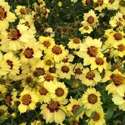 Autumn Blush Tickseed, in bloom