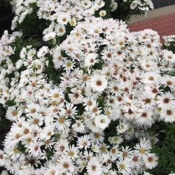 Puff Hybrid Aster, in bloom