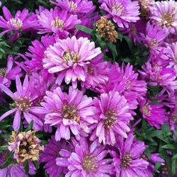Flowers of Pink Magic Aster