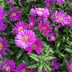 Flowers of Magic Aster
