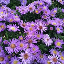 Daydream Aster, in bloom