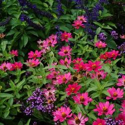 Playin' the Blues Salvia, Zahara XL Pink Zinnia, ? Verbena
