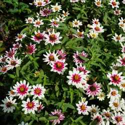 Zahara Starlight Rose Zinnia, in bloom