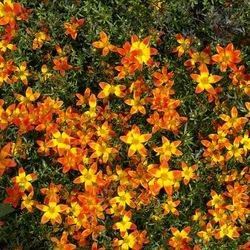 Zahara XL Fire Zinnia, in bloom