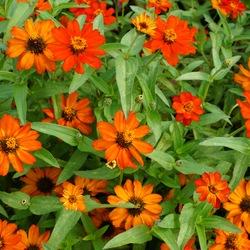 Flowers of Zahara XL Fire Zinnia