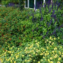 Playin' the Blues Salvia, Zahara Yellow Improved Zinnia