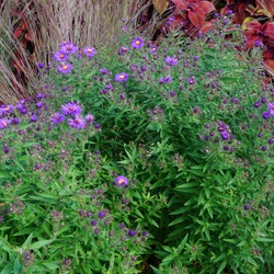 Hella Lacy New England Aster