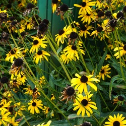 Viette's Little Suzy Black-Eyed Susan, in bloom