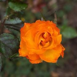 Winning Colors Grandiflora Rose