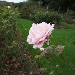 Lucky Lady Rose