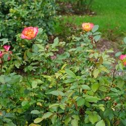 Rainbow Sorbet Floribunda Rose