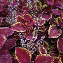 Ruby Slippers Coleus, in bloom