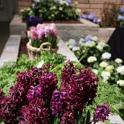 Woodstock Common Hyacinth, Boston Fern, Splendid Cornelia Hyacinth, Aida Hyacinth, Bloomstruck Hydrangea