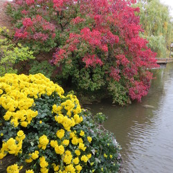 Autumn Blaze Pear, Weeping Willow, and ? Mums