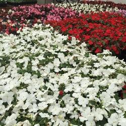 Accent Premium Red, Accent Premium White Impatiens, Bada Boom Scarlet, Senator White Begonia, Bada Boom Pink Begonia