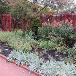 Andean Sage, Tardiva Panicle Hydrange, Blue Paradise Garden Phlox, Lamb's Ears