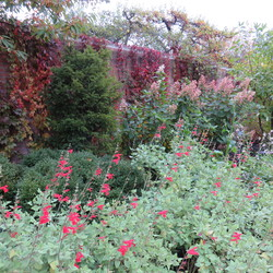 Andean Sage, Virginia Creeper, Late Panicle Hydrangea, Crystal Peak White Obedient Plant