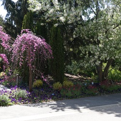 Lavender Twist Weeping Redbud, Donald Wyman Flowering Crabapple, Colchester White Dusty Miller, Allgold Broom, Enchantment Toadflax, Wonderfall Blue with Blotch Pansy