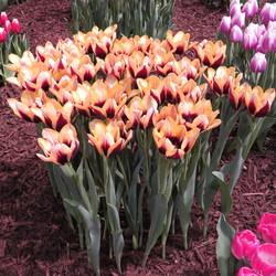 Dreaming Maid Tulip, Innuendo Tulip, Gavota Tulip