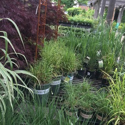 Grass - Little Zebra Maiden, Northwind Switch Grass, Red Dragon Japanese Maple, Gold Bar Eulalia, Variegated Japanese Silver Grass, Red October Andropogon