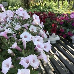 Supertunia Vista Bubblegum Petunia, Supertunia Vista Silverberry