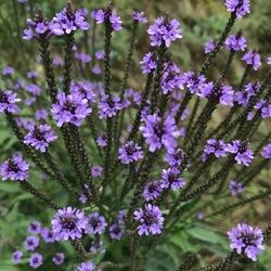Blue Vervain, in bloom