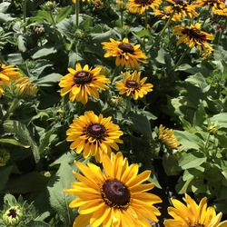 Toto Gold Rudbeckia, in bloom