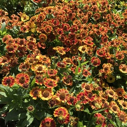 Mariachi Bandera Helenium, in bloom