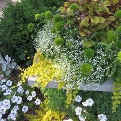 Goldilocks Creeping Jenny, Tidal Wave Silver Petunia, Premium Sun Flip Side Coleus, Green Ball Dianthus, Glamour Euphorbia, Cirrus Dusty Miller, Boxwood