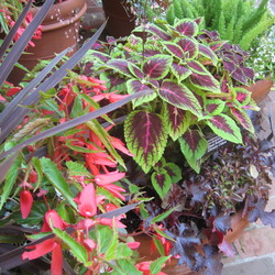 Million Kisses Devotion Tuberous Begonia,  Giant Exhibition Chivalry Coleus, Black Beauty Alumroot, Foxtail Fern