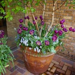 Whitespire Gray Birch, Valerie Finnis Grape Hyacinth, Blue Magic Grape Hyacinth, Negrita Triumph Tulip, Katz Purple Stock
