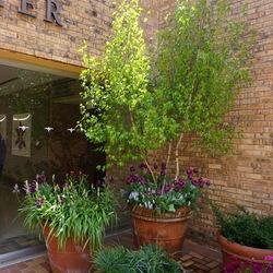 Whitespire Gray Birch, Valerie Finnis Grape Hyacinth, Blue Magic Grape Hyacinth, Negrita Triumph Tulip, Wild Hyacinth, Katz Purple Stock, Mache Purple Persian Buttercup
