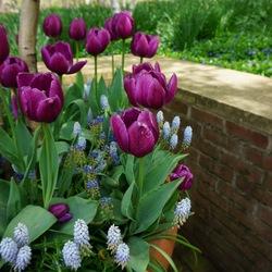 Whitespire Gray Birch, Valerie Finnis Grape Hyacinth, Blue Magic Grape Hyacinth, Negrita Triumph Tulip