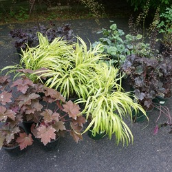 Aureola Japanese Forest Grass, Green Spice Coral Bells, Bleeding Heart, Royal Red Hairy Alumroot, Obsidian Coral Bells, Blackout Coral Bells