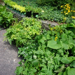Periwinkle, Solanna Golden Sphere Tickseed, The Rocket Leopard Plant, Green Carpet Japanese Pachysandra, Cup Plant