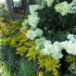 Limelight Hardy Hydrangea, Night Embers Daylily
