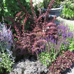 Russian Sage, Rose Glow Barberry, Lidakense Stonecrop, East Friesland Meadow Sage, Blackout Coral Bells