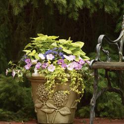 Artist Blue Flossflower, Colorblaze Lime Time Coleus, Goldilocks Creeping Jenny