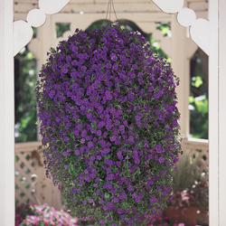 Superbells Blue Calibrachoa, in bloom