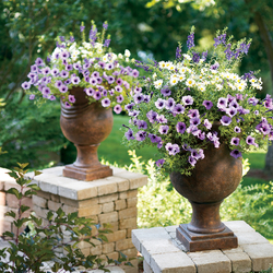 Angelface Blue Improved Summer Snapdragon, Vanilla Butterfly Marguerite Daisy, Supertunia Bordeaux Petunia