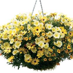 Sunsatia Lemon Nemesia, Lemon Symphony African Daisy, Surfinia Patio Yellow Petunia