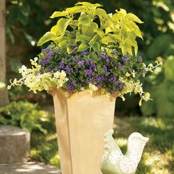 Colorblaze Lime Time Coleus, Artist Blue Flossflower, Lemon Licorice Licorice Plant