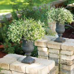 Diamond Frost Spurge helps make containers great...