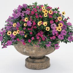Superbells Pink Calibrachoa, Lemon Symphony African Daisy, Superbena Large Lilac Blue Verbena