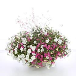 Superbells Pink Calibrachoa, Superbells Yellow Chiffon Calibrachoa, Stratosphere Pink Picotee Gaura, Supertunia White Petunia