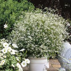 Diamond Frost Spurge, Supertunia White Petunia, Daisy May Shasta Daisy