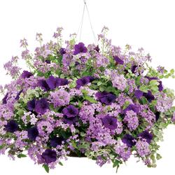 White Licorice, Bluebird Nemesia, Supertunia Royal Velvet Petunia