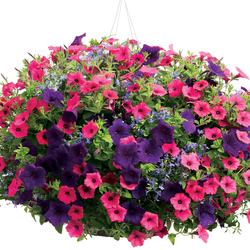 Laguna Sky Blue Lobelia, Supertunia Vista Fuchsia, Supertunia Royal Velvet Petunia
